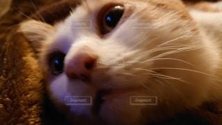 何かを見ている猫のクローズアップの写真・画像素材[3316747]