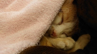 毛布で寝ている猫の写真・画像素材[3316749]