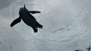 空飛ぶペンギンの写真・画像素材[3325672]