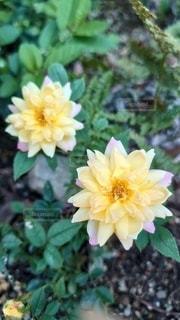 ミニ薔薇兄弟の写真・画像素材[3346081]