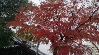 大きな木の写真・画像素材[3358741]