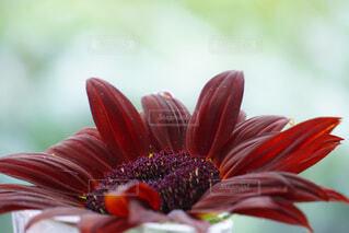 赤い向日葵の写真・画像素材[4675900]