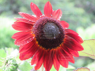 赤い向日葵の写真・画像素材[4675906]