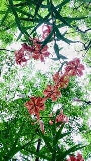 花,樹木,木陰,日陰,青紅葉,オニユリ,草木,日中,コオニユリ