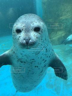 水のプールで泳ぐアザラシの写真・画像素材[3328346]