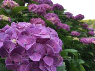 花,曇り,アジサイ