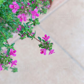 タイムの花の写真・画像素材[4545502]
