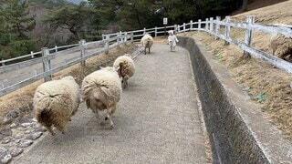 動物,屋外,羊,牧場,ひつじ,子供,走る,道,馬,地面,着ぐるみ,爆走