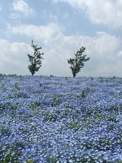 青い花畑②の写真・画像素材[3338982]