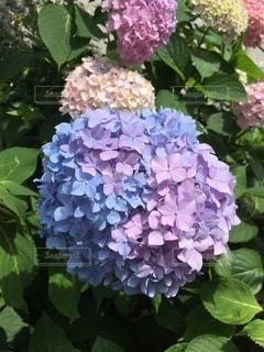 紫陽花①の写真・画像素材[3339020]