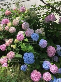 紫陽花たち①の写真・画像素材[3339016]