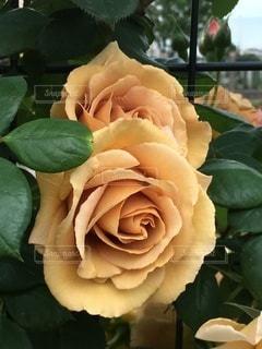 薔薇の花-オレンジ-の写真・画像素材[3339017]