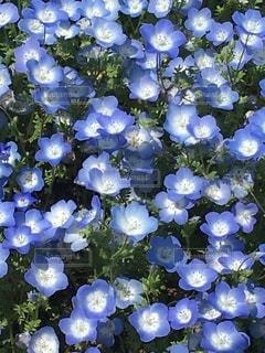 青い花畑の写真・画像素材[3339446]