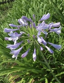 可憐な紫色の花②の写真・画像素材[3368358]