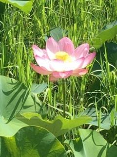 蓮の花①の写真・画像素材[3368413]