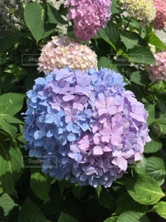青と紫との写真・画像素材[3390461]