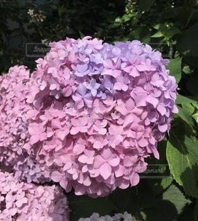 ピンク!と紫もの写真・画像素材[3390481]