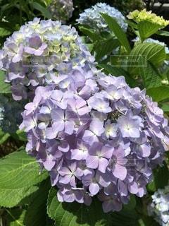 ザ・紫陽花の写真・画像素材[3390483]
