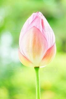 蓮の蕾の写真・画像素材[3351568]