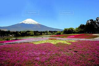 桜の写真・画像素材[146658]