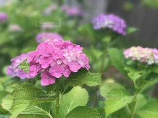 花の写真・画像素材[560393]