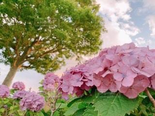 紫陽花の写真・画像素材[3375042]
