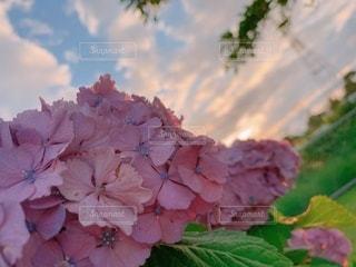 紫陽花の写真・画像素材[3375041]
