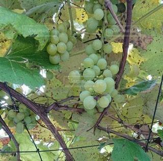木からぶら下がっている果物の写真・画像素材[3351844]