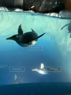 ペンギンが水の中を泳いでいるの写真・画像素材[3343783]