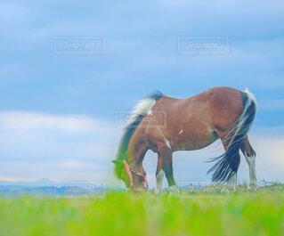 芝生で覆われた畑の上に立っている茶色の馬の写真・画像素材[4961558]