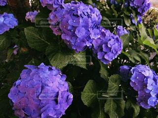 紫陽花の写真・画像素材[3392160]