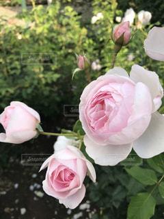 薔薇の写真・画像素材[3350093]