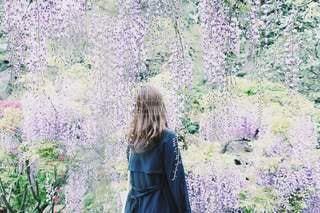 藤の花の雨の写真・画像素材[3407104]