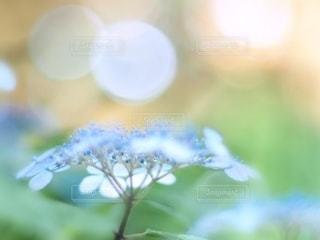 紫陽花の写真・画像素材[3374942]