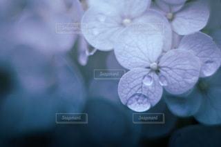 紫陽花のなみだの写真・画像素材[3374537]