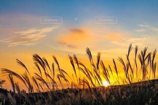 ススキと夕陽の写真・画像素材[3398912]