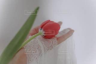赤いチューリップの写真・画像素材[3403133]