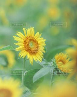 向日葵の写真・画像素材[3494395]