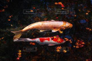 散り紅葉の中を泳ぐ鯉の写真・画像素材[3713937]