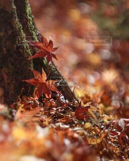 落ち葉の絨毯の写真・画像素材[3799711]