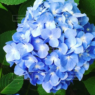 水色の紫陽花の写真・画像素材[3363074]