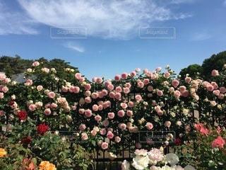 薔薇園のクローズアップの写真・画像素材[3363151]