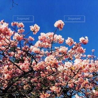 木の上のピンクの花のグループの写真・画像素材[3370863]