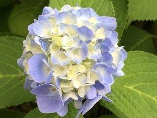 紫陽花のクローズアップの写真・画像素材[3376034]