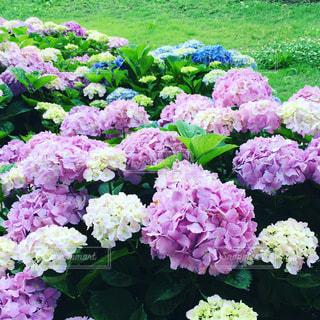紫陽花のクローズアップの写真・画像素材[3407604]