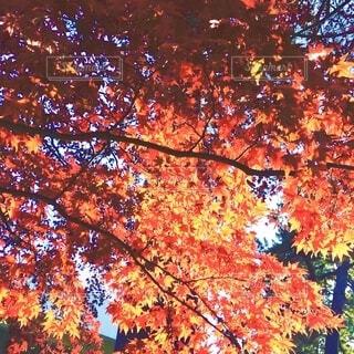 美しい紅葉の写真・画像素材[3720202]