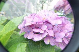 虫眼鏡で紫陽花を観察!の写真・画像素材[3375767]