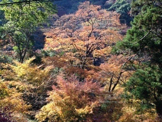 森の中の大きな木の写真・画像素材[3362707]