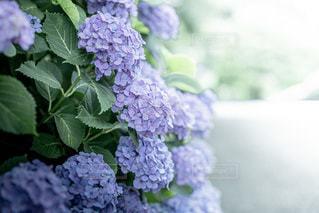 紫陽花の写真・画像素材[3374377]