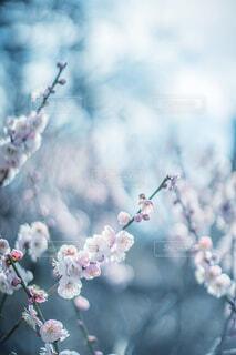 梅の花の写真・画像素材[4353977]